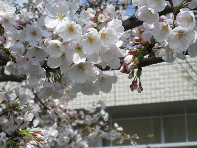 3月23日桜②.JPG